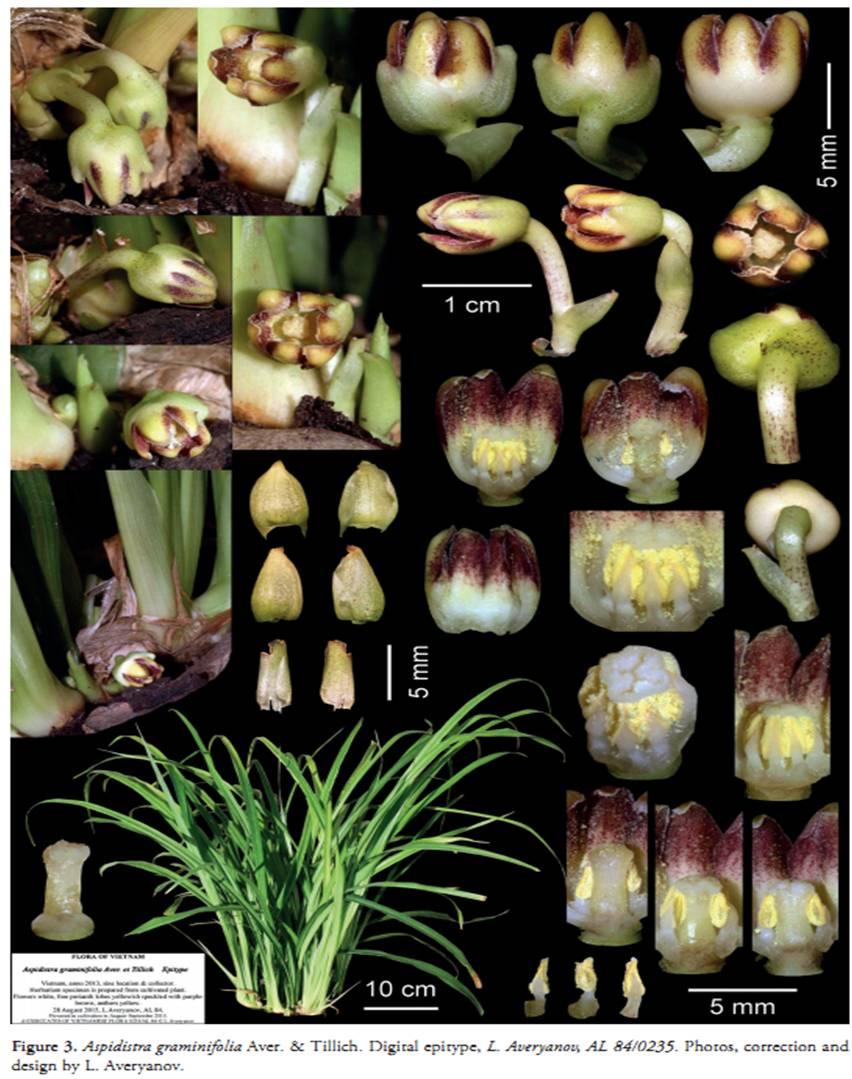 Aspidistra graminifolia on Wulfenia 23 (2016).jpg at www.BotanyVN.com