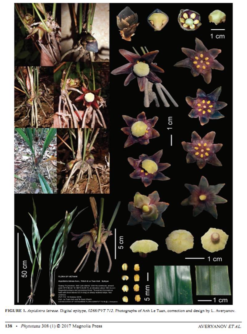 Aspidistra letreae - Aver. et al. on Phytotaxa308( 1 ).jpg at www.BotanyVN.com