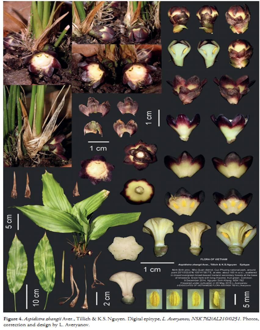 Aspidistra zhangii on Wulfenia 23 (2016) - 1.jpg at www.BotanyVN.com