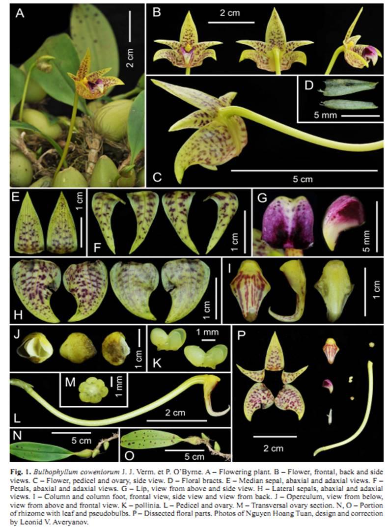 Bulbophyllum coweniorum on Turczaninowia20(1).jpg at www.BotanyVN.com