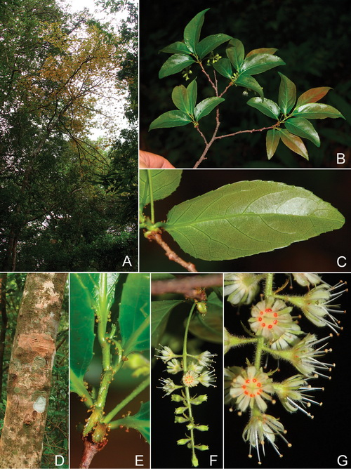 Homalium glandulosum -1-Tagane.jpg at www.BotanyVN.com