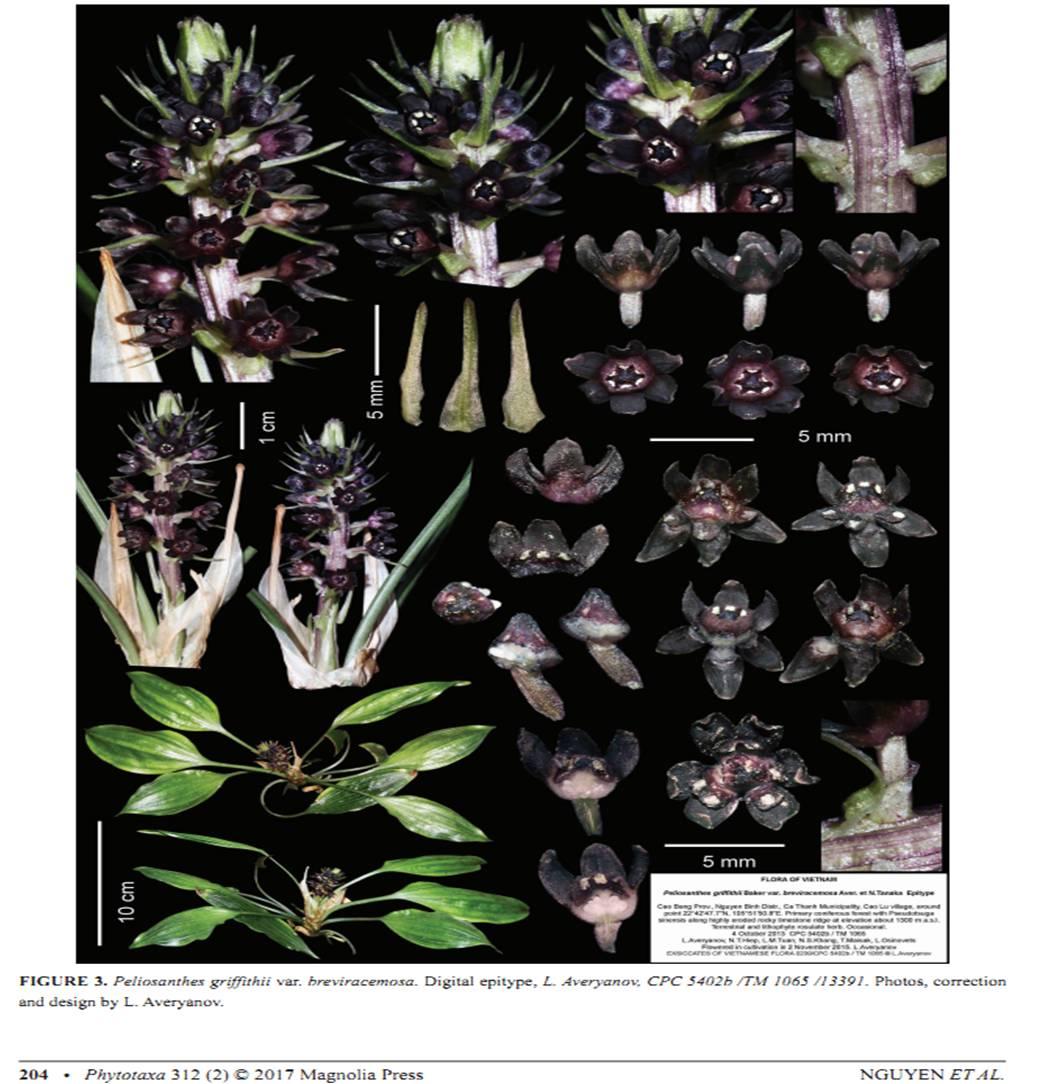 Peliosanthes griffithii var. breviracemosa on Phytotaxa312(2).jpg at www.BotanyVN.com