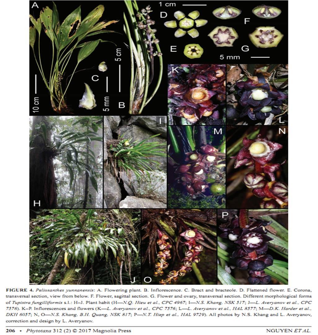 Peliosanthes yunnanensis on Phytotaxa312(2).jpg at www.BotanyVN.com